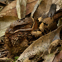 This Collared Nightjar (Gactornis enarratus), a Madagascar endemic, hides itself among the leaf litter of the forest floor while it sleeps. Placed in its own genus, this species is distinct from all other nightjars (family Caprimulgidae) by its plumage, eggs, and behavior. Andasibe, Madagascar.