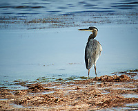 Great Blue Heron. Biolab Road, Merritt Island National Wildlife Refuge. Image taken with a Nikon D3s camera and  70-200 mm f/2.8G VRII lens and TC-E 2.0 III teleconverter (ISO 200, 400 mm, f/8, 1/500 sec).