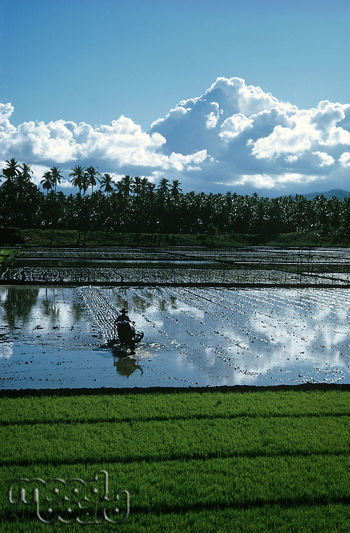 Landscape with rice fields and dramatic sky