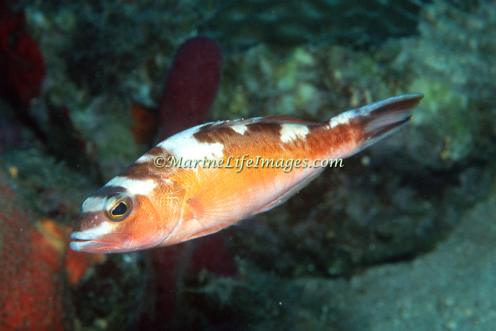 Tobaccofish inhabit sand and coral rubble areas adjacent reefs in Tropical West Atlantic; picture taken Key Largo, FL.