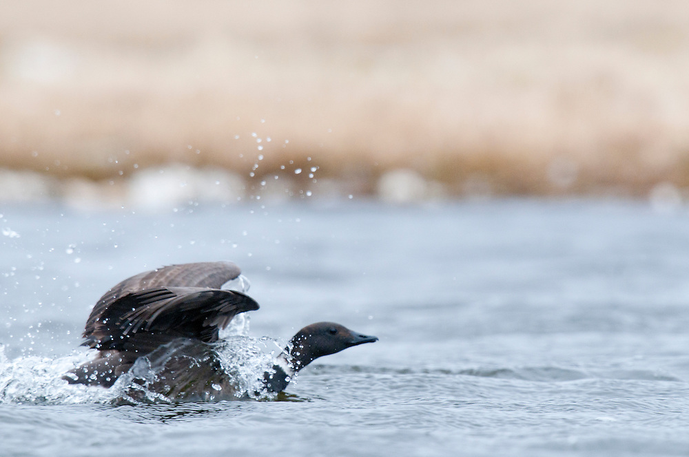 Black Brant (Branta bernicla) landing on a tundra pond on the Arctic Coast near Barrow, AK