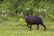 Brazilian tapir (Tapirus terrestris) Male. WILD<br /> PHOTOGRAPHED IN: Serra da Bodoquena. Limestone elevated area which devides the Pantanal and the Cerrado. Mato Grosso do Sur Province. BRAZIL.  South America. RANGE: South America, E of Andes from n colombia to s Brazil, n Argentina and Paraguay, including Amazonia and Orinoco tropical forest basins.  They habit lowland rain forest and lower montaine forest from sea level to 1,700 meters (5,600 ft). <br /> Over hunting by humans and forest destruction is causing their numbers to decline dramatically and they are now classified as near threatened. They are predictable as they use well defined paths to water, where they spend large amounts of time either fully submerged or mud-wallowing. They live on average of 30 years with the female giving birth on average of 1 young every two years. These are the heaviest wild land mammals in South America.
