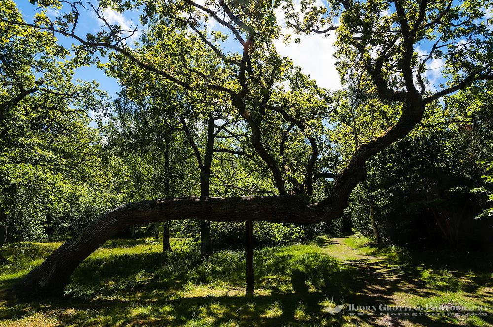 Sweden, Gotska Sandön national park. An old tree.