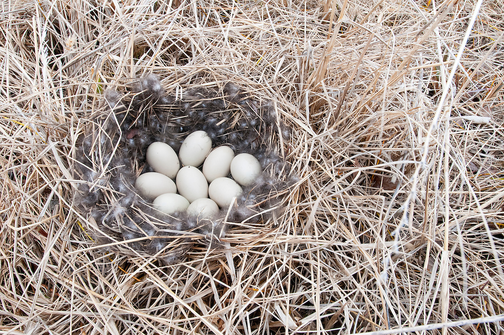 Northern Pintail nest, Anas acuta, Yukon Delta NWR, Alaska