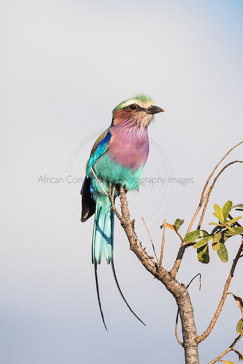 Lilac-Breasted Roller, Kruger National Park, Limpopo, South Africa