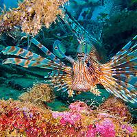 Alberto Carrera, Red Lionfish, Pterois volitans, South Malé Atoll, Maldives, Indian Ocean, Asia