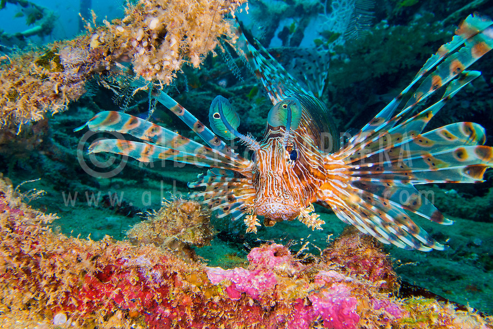 Alberto Carrera, Red Lionfish, Pterois volitans, South Malé Atoll, Maldives, Indian Ocean, Asia