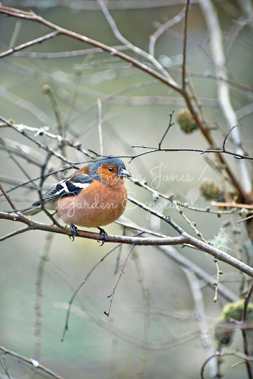 Chaffinch (Fringilla coelebs) wildbird at Penninghame Pond, Dumfries &amp; Galloway, Scotland<br /> <br /> <br /> Photography&nbsp;&copy; Andrea Jones
