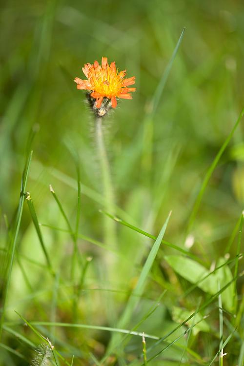 Orange Hawkweed flower, Hieracium aurantiacum