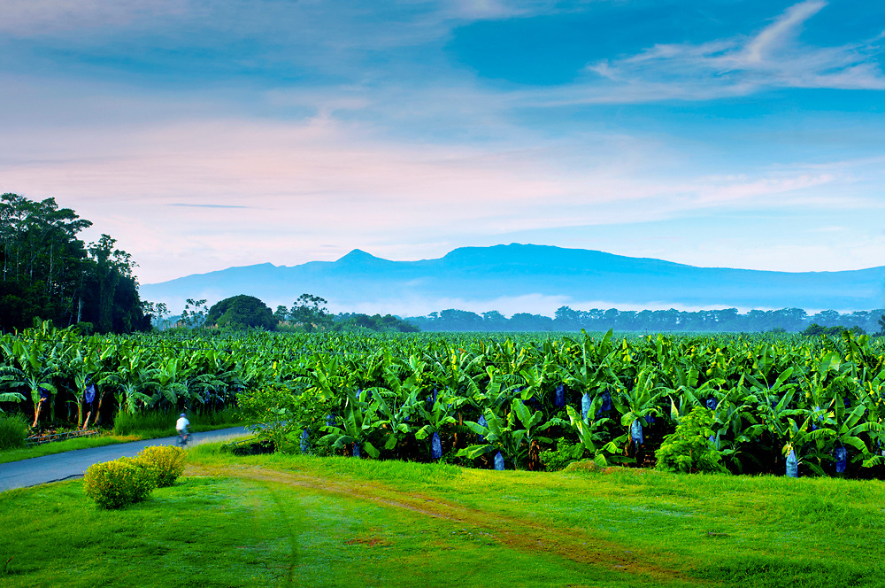 Banana worker bicycles to work through a banana plantation.  The volcanic Cordillera Central mountain range rises in the background.