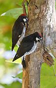 Acorn Woodpecker, Santa Barbara, North America