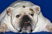 Bulldog lying down close-up