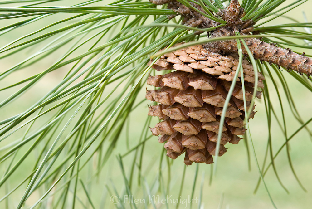 Pitch Pine Cone - Pinus rigida