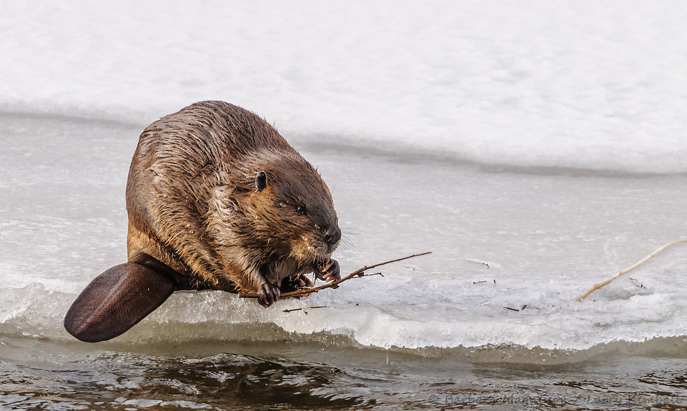 Beaver {Castor canadensis}; feeding in Arkansas River,winter, Bighorn Sheep Canyon, Fremont County, Colorado