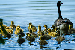 © Licensed to London News Pictures. 06/05/2020. Rickmansworth, UK.  A large clutch of Canada Goose goslings take to the water during warm weather at Rickmansworth Aquadrome in the north west of the capital.  Wildlife has enjoyed the absence of humans around their environment during the ongoing coronavirus lockdown.  Photo credit: Stephen Chung/LNP