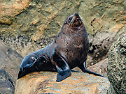New Zealand fur seal (Arctocephalus forsteri) at Long Reef Point on the Tasman Sea near Martins Bay Hut, on the Hollyford Track, in Fiordland National Park, Southland region, South Island of New Zealand. After the arrival of Europeans in New Zealand, hunting reduced the seal population near to extinction. This mammal is known as kekeno in Maori language. Some call it Australasian fur seal, South Australian fur seal, Antipodean fur seal, or long-nosed fur seal. In 1990, UNESCO honored Te Wahipounamu - South West New Zealand as a World Heritage Area.