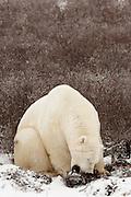 CANADA, Churchill (Hudson Bay).Polar bear (Ursus maritimus) chewing on roots