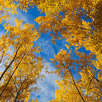 The deep blue Alberta sky is broken by the rich autumn aspen trees.