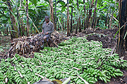 A Batwa tribesman man sorts plantain fruits ready for making plantain wine on the edge of the Bwindi Impenetrable Forest, Uganda.