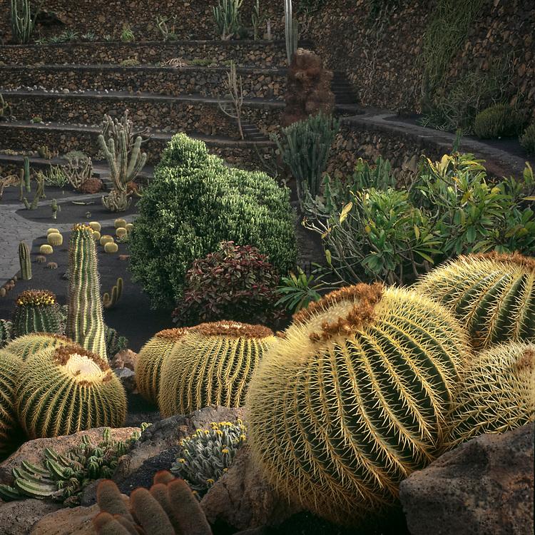 Echinocactus grusonii - golden barrel cactus, golden ball cactus, mother-in-law's cushion - Jardin de Cactus, Guatiza, Lanzarote, Canary Islands