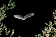 Western long-eared bat (Myotis evotis) flying at night over The Nature Conservancy's Zumwalt Prairie Preserve in Eastern Oregon.