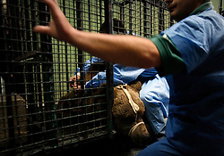 ROMANIA ONESTI 28OCT12 - A Eurasian  brown bear is examined by veterinary doctor Ciprian Cocianu as he arrives at the Zarnesti bear sanctuary.....The bear was rescued from the decrepit Onesti Zoo where it lived for 8 years in degrading conditions and will be transported to the Zarnesti bear sanctuary.....jre/Photo by Jiri Rezac / WSPA......© Jiri Rezac 2012