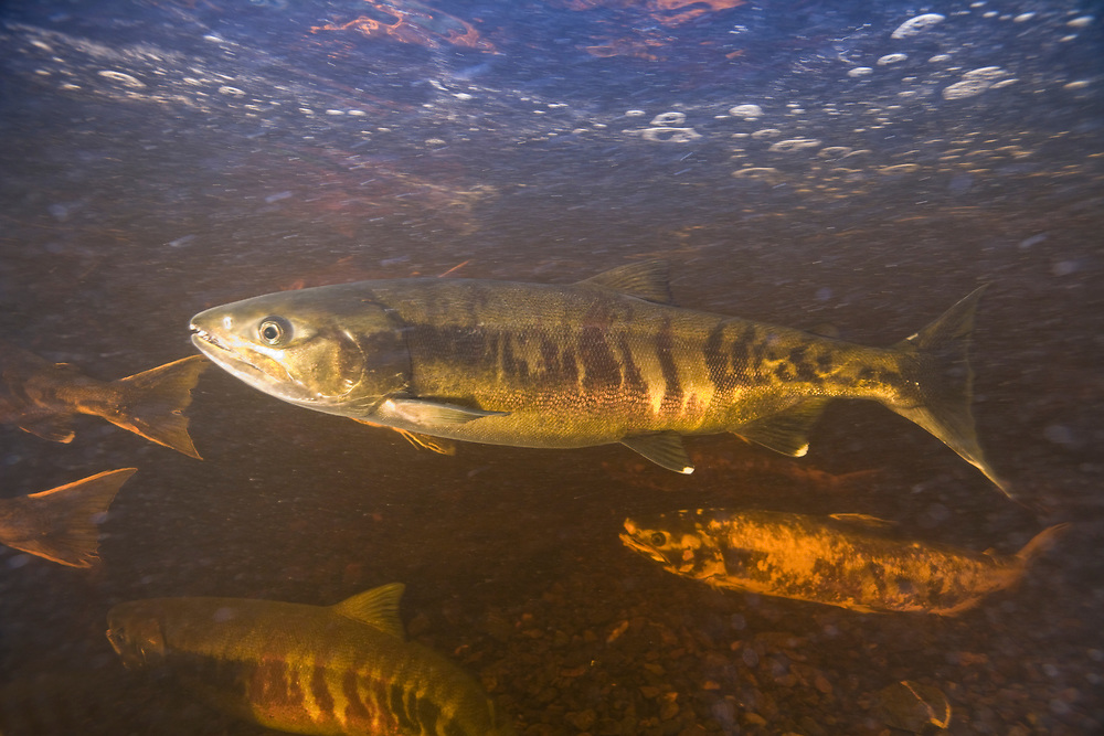 USA, Alaska, Kake, Underwater view of Chum Salmon (Oncorhynchus keta) spawning in Gunnuck Creek
