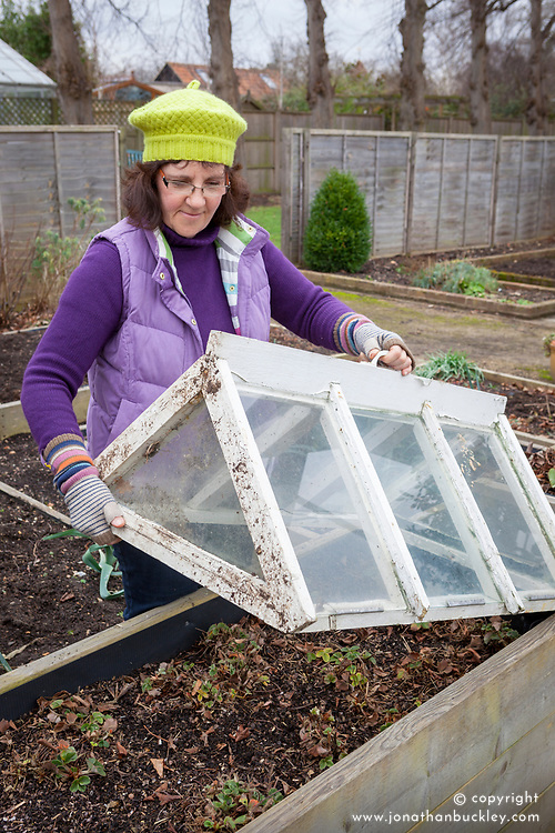 Putting a cloche over strawberries for an early crop