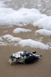 GERMANY SCHLESWIG-HOLSTEIN SYLT 1FEB13 - A dead seagull on the beach near Hoernum on the north frisian island of Sylt, North Sea, Germany.....jre/Photo by Jiri Rezac....© Jiri Rezac 2013