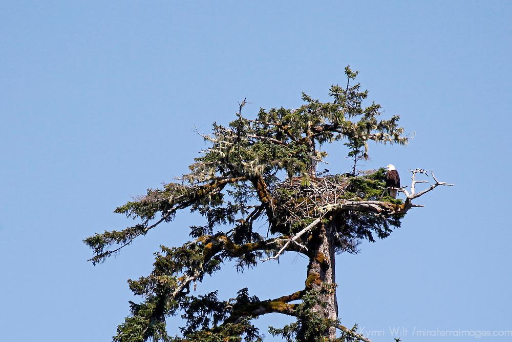 North America, USA, Alaska. American Bald Eagle nest.