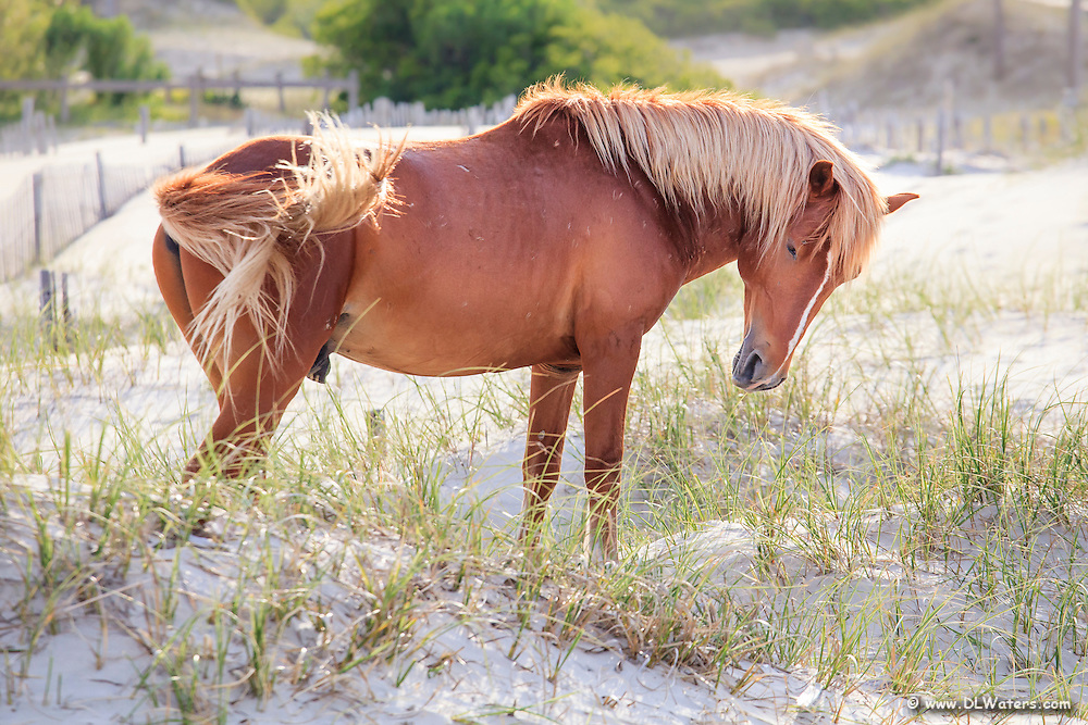 Wild horses in Corolla on the Outer Banks of NC.