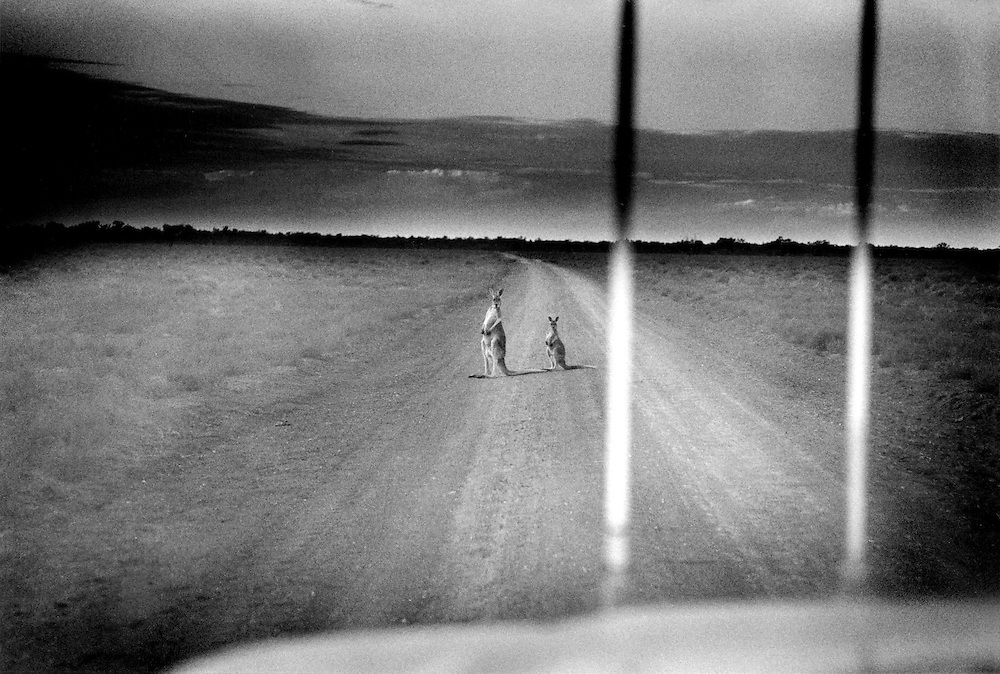 'Kangaroo Harvesting'..Mother and joey sit on a road running through Oxley Station near Warren in the Macquarie Marches, north western NSW. The severe drought in western NSW forced kangaroos to move across the country in search of food.