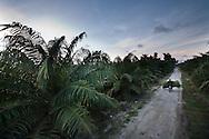 An African Palm plantation surrounding the village of Kota Pari.