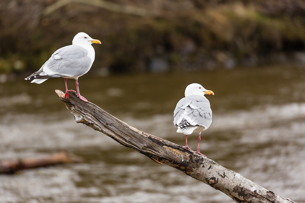 Glaucous-winged Gulls (Larus glaucescens) perched on a tree branch overlooking the Anchor River in Anchor Point in Southcentral Alaska. Spring. Morning.