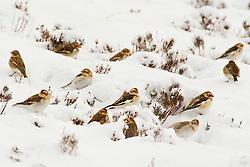 Snow Buntings search for food in the Cairngorms as Storm Doris hits the UK. 24 Feb 2017 (c) Brian Anderson | Edinburgh Elite media