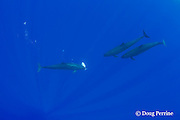 false killer whales, Pseudorca crassidens, sharing their catch - one whale passes an African pompano, Alectis ciliaris, to another member of the pod, Kona, Hawaii  ( Central Pacific Ocean ) #1 in sequence of 2