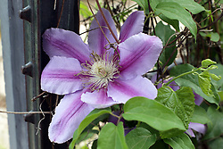 Flowers - Clematis (Leather Flower)