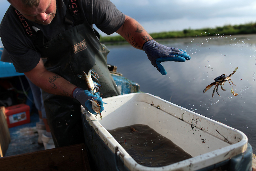 Deckhand Joshua Alfonso grades blue crab as they run pots from Yscloskey in St Bernard Parish, LA on May 26th, 2010. Local fisherman from St Bernard Parish were desperately fishing the surrounding bayou to earn as much income as possible before authorities shut down the crab fishing while the BP oil spill inched closer.