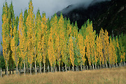 Alamo Trees, Aisen Region, Chile<br />