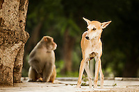 A dog on the street with a macaque in the background, India. Animal and wildlife photography prints for sale. Fine art photography prints.