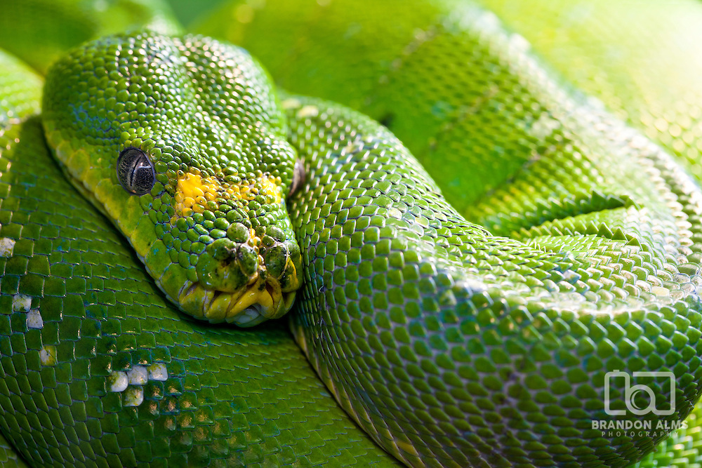 A close up shot of a Green Tree Python (Morelia viridis) coiled up.