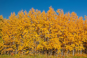 Aspen foliage in autumn color<br /> Elk Island National Park<br /> Alberta<br /> Canada