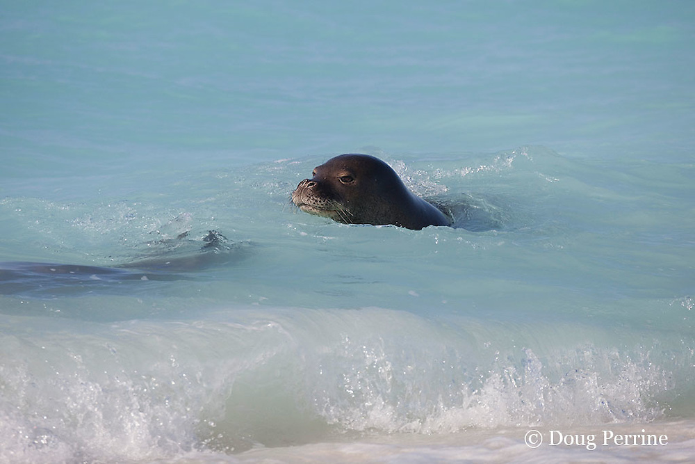 Hawaiian monk seals, Monachus schauinslandi, male (right) pursues female (left), Critically Endangered endemic species, Sand Island, Midway, Atoll, Midway Atoll National Wildlife Refuge, Papahanaumokuakea Marine National Monument, Northwest Hawaiian Islands ( Central North Pacific Ocean )