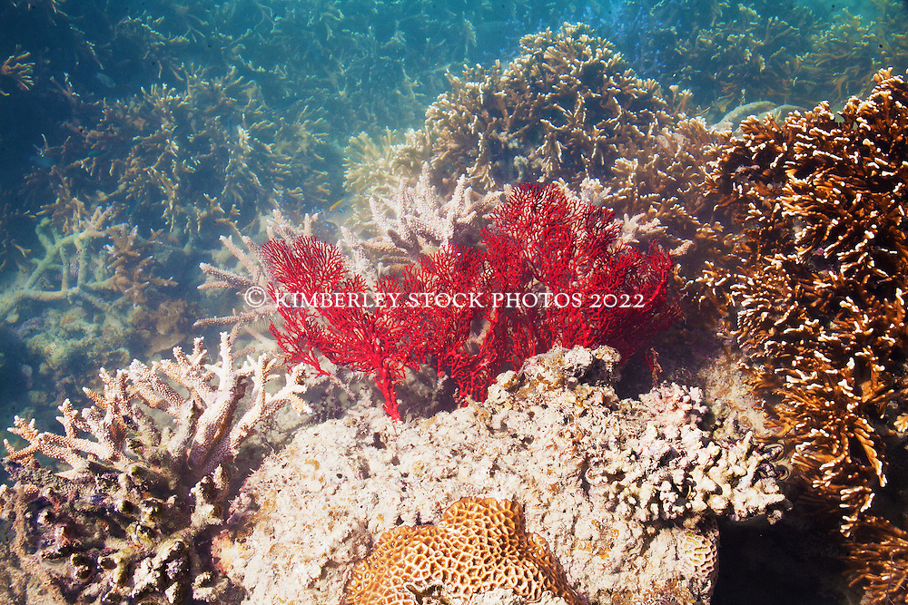 A gorgonian fan coral stands out from the crowd on Cowrie Reef in Talbot Bay.   The Kimberley has the greatest diversity of coral species of any area in Western Australia.