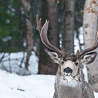 single head shot muledeer buck frozen ice in fur