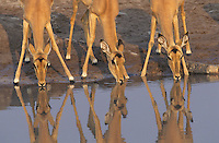 Three Gazelle drinking at waterhole