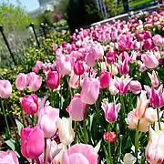 Pink and white tulips in bloom in spring in Washington DC with the US Capitol Dome visible in the distance. The focus is on the flowers in the foreground.