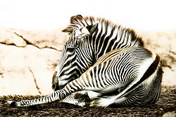 A Grevy's Zebra takes a load off to relax and pose for a portrait at the Saint Louis Zoo