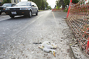 Great Egret <br /> Ardea alba<br /> 2-3 week-old chick(s) dead in road at Ninth Street Rookery<br /> Santa Rosa, California