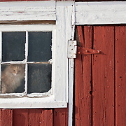Wide shot of longhaired barn cat watching from window of red barn